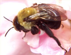 Carpenter Bee-NPMA