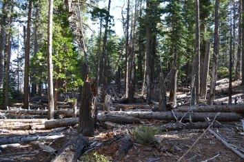 Dense conifer forest in Tahoe - needs fire or thinning!