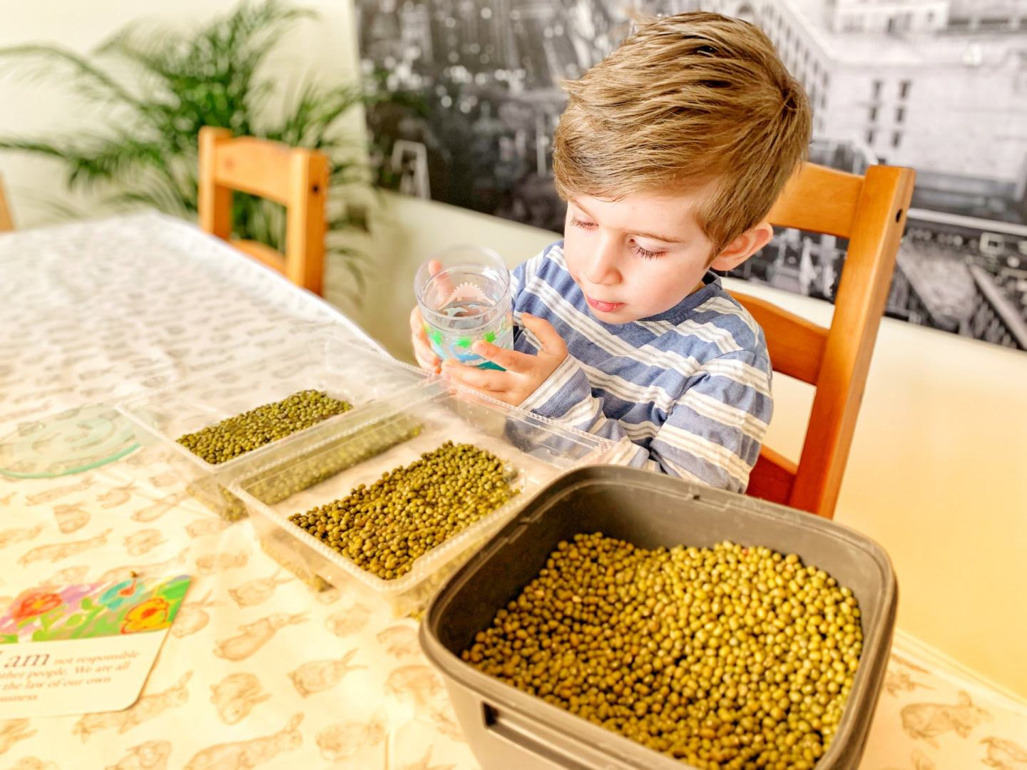 Toddler pouring water on mung beans
