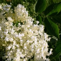 Fresh yeast and tomcat: recipes with elderflower