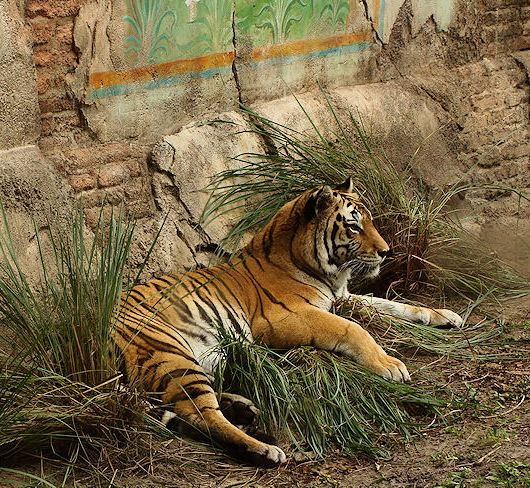 animal kingdom tiger