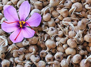 saffron bulbs organic