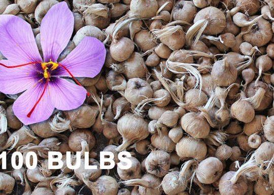 saffron-bulbs-100pc