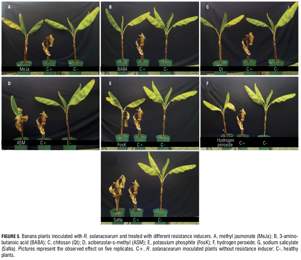 Banana Moko disease 4