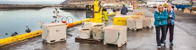 Siglufjörður harbour full of fresh fish.