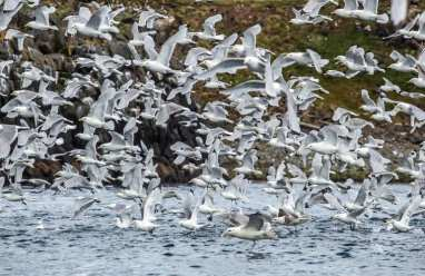 Seabirds by the arctic circle