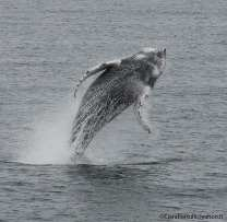 Whale Watching Iceland Breaching Humpback
