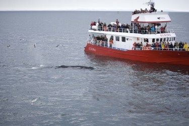 Whale Watching Iceland Humpback Elding