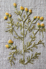 Gatkamomill (Matricaria suaveolens)