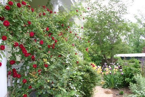 Old Climbing Rose