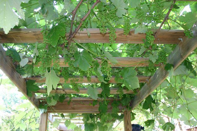 grapes- late may