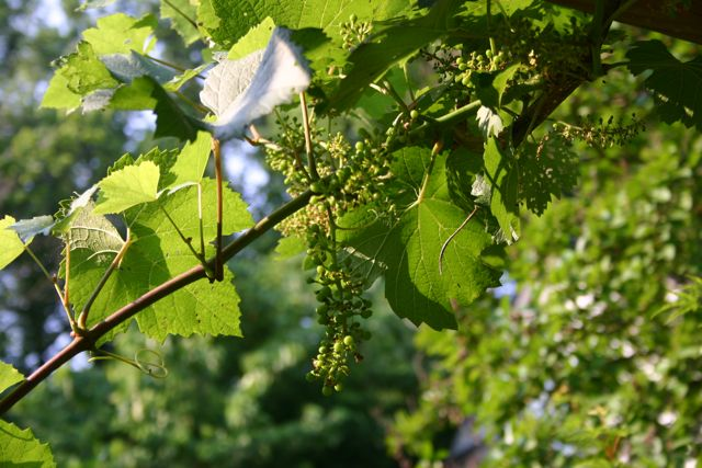 Cabernet Sauvignon grapes - late may