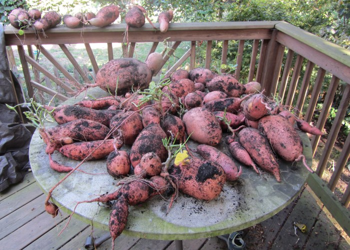 Sweet Potato Harvesting day
