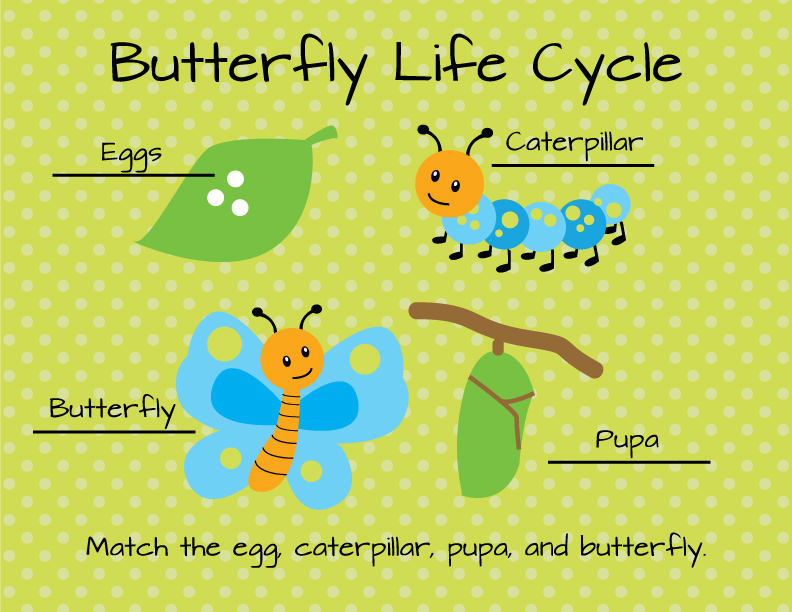 Match the egg, caterpillar, pupa and butterfly.