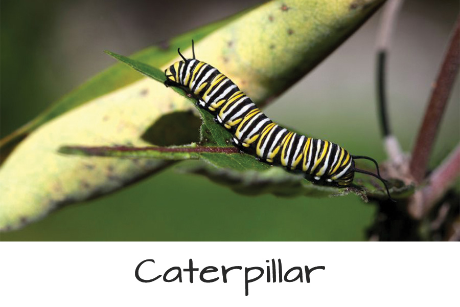 Butterfly-Life-Cycle-caterpiller