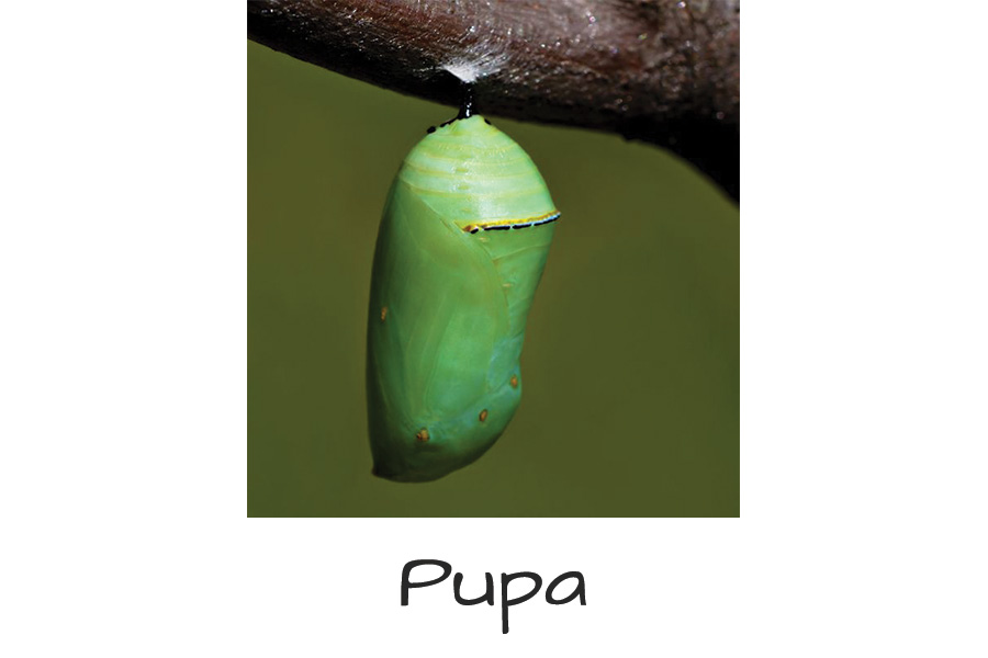 Butterfly-Life-Cycle-pupa
