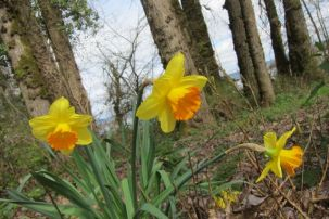 Intrepid daffodils still blooming near the dwelling ruins