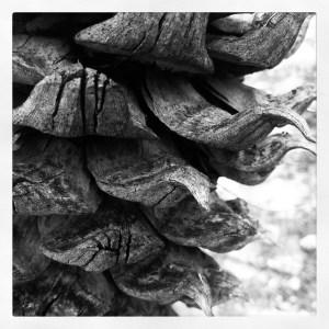 Gray Pine Cone