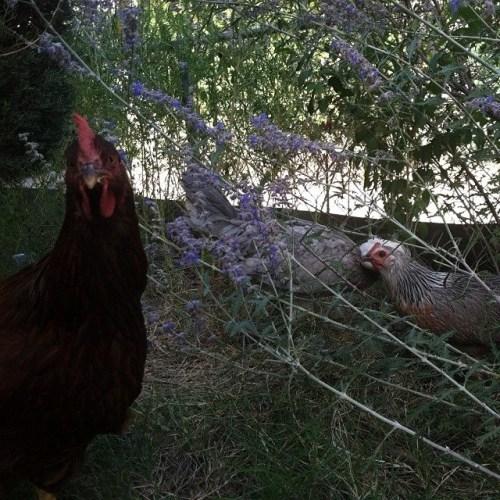 Chickens, maggot-destroyers - Sage Harrington