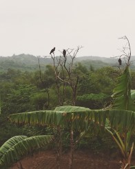John Crow siddong pon treetop