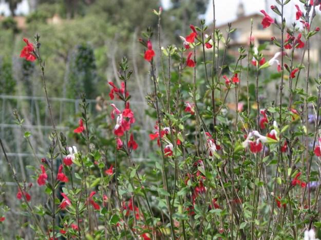 Salvia Greggii - Lipstick Sage