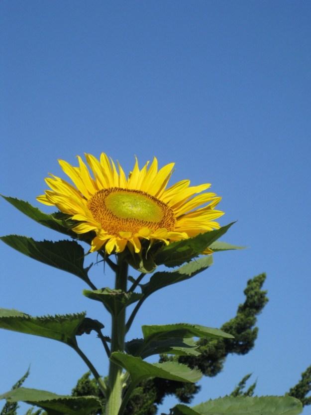An early summer sunflower