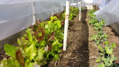 Loose leaf lettuce mix (left) and Oregon Snow Peas on February 1, 2015