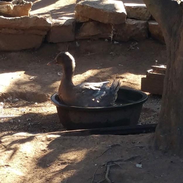 big-duck-small-pond
