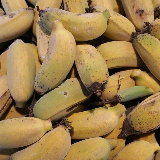 A full bunch of Ice Cream Bananas nearly ripe