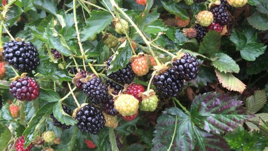 Blackberries ripe and ready to pick