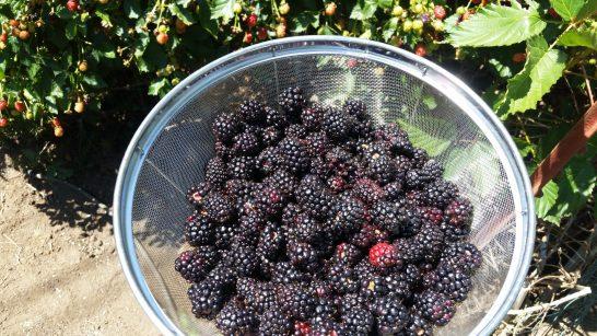 One of 10 baskets of fresh picked blackberries