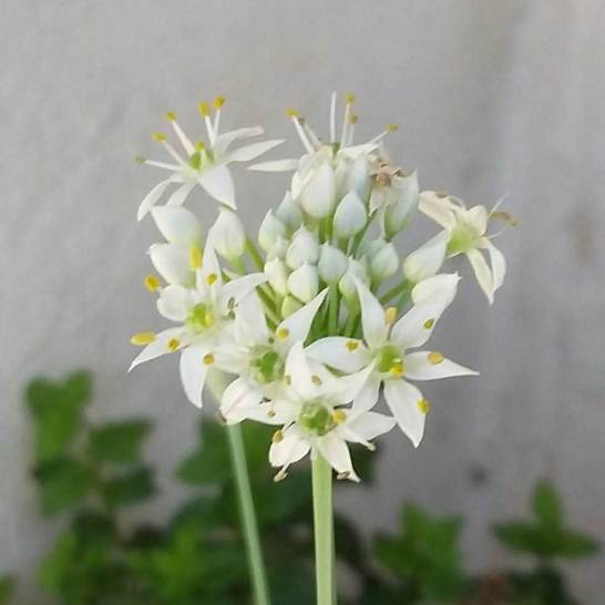 Garlic chive in bloom