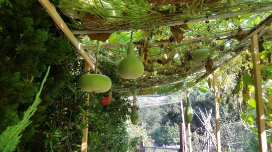 A view of the overhead trellis laden with gourds
