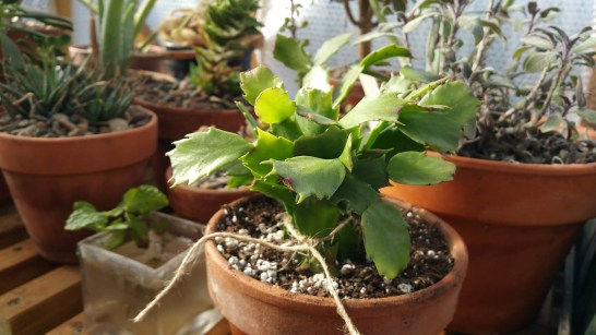 A baby Christmas Cactus after rescue in December of 2019