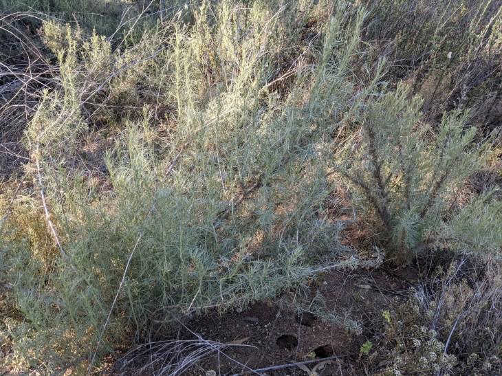 Artemesia California A gray-green sagebrush