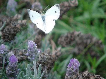 A green-veined white butterfly on lavender