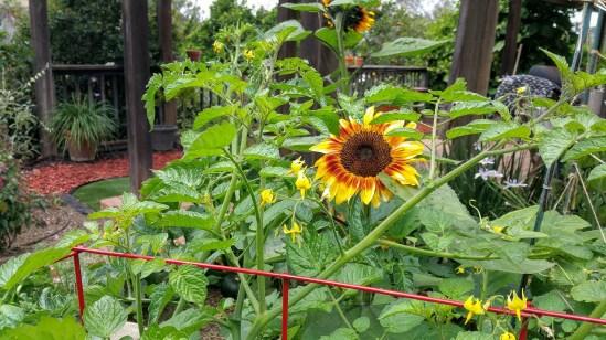 Autumn Beauty bi-color sunflower