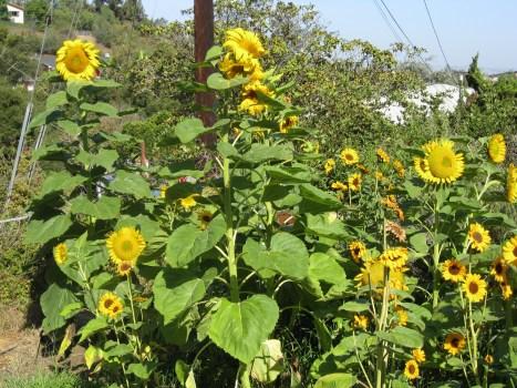 A sunflower patch