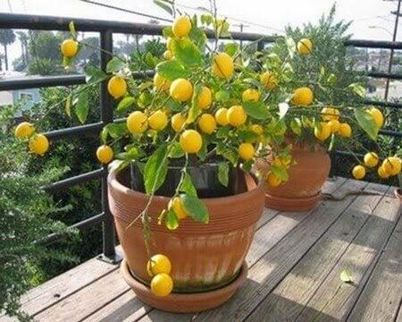 limon-agaci1