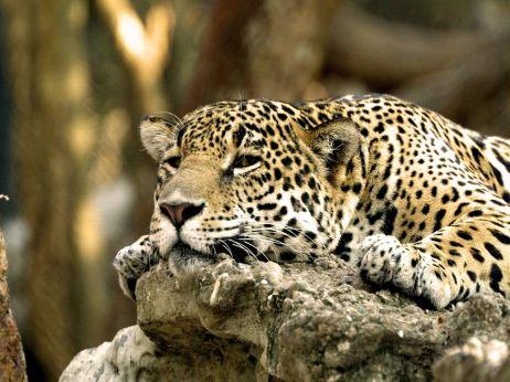 leopard-africa-backgrounds