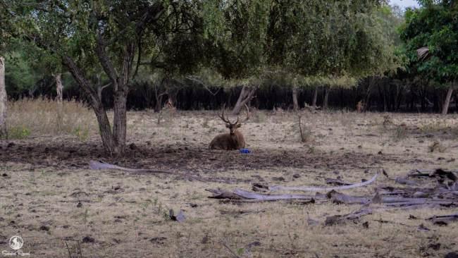 Rusa di Taman Nasional Baluran