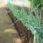 分結ネギ:2回目の追肥・土寄せ
