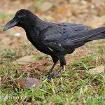 鳥獣対策:カラス