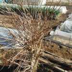 菜園日記:境界線上の樹木整枝