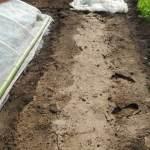 トウモロコシ(1):畝づくり