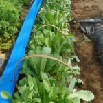 スティックダイコン:2回目に播種した苗の3本仕立て