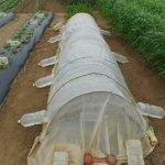 ナス:畝をPOトンネルで覆う