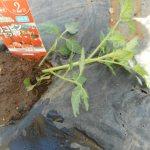 ミニトマト:苗の植付け