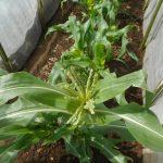トウモロコシ(1):雄花出穂・2回目の追肥(1)