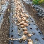 玉ネギ:ネオアースの収穫を終える
